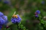 Honey bee amid Californian Lilac